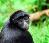 Monkey in Amazon Basin