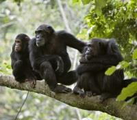 Frolicking Chimpanzees