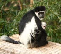 Colobus Monkey with White Haired Infant