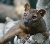 An inquisitive Fossa