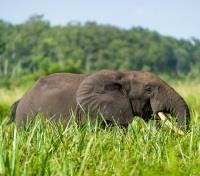 Local Wildlife - Elephant