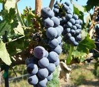Vineyard Grapes in Yakima Valley