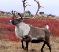Canadian Central Barren Ground Caribou