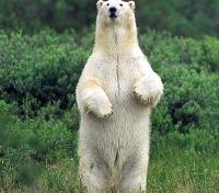 Surveying Polar Bear