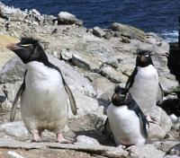 Rockhopper Penguins at Campbell Island
