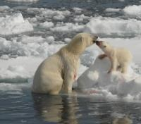 Polar Bears on the Pack Ice