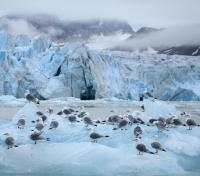 Kittiwakes on the Glacier Front