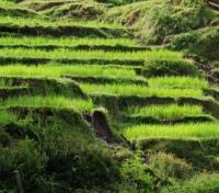 Fertile Plateau - Fields of Rice Paddies