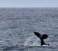 Whale Watching in the Drake Passage