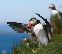 Puffins on Grimsey Island
