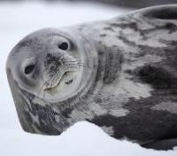 Playful Weddell Seal