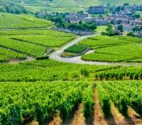 Ancient Vineyards
