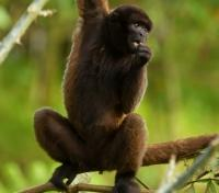 Chorongo Monkey