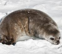Antarctic Seal