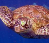 Green Turtle - Similian Islands