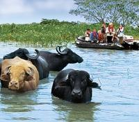 Water Buffalo Spotting on the Zodiacs