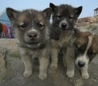 Sled Dog Puppies
