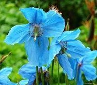 Blue Himalayan Poppy at Royal Botanic Gardens