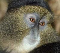 Golden Monkey Close Up