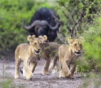 Lion Cubs on the Run