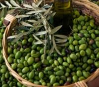 Tuscan Olives ready for Processing