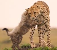 Cheetah Cub whispers to his Mom