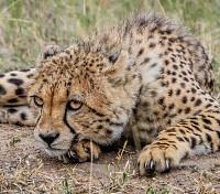 Cape Town, Winelands & Safari Tours 2018 - 2019 -  Cheetah in Kruger