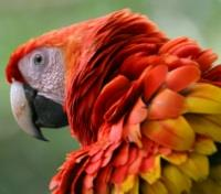 Scarlet Macaw with ruffled feathers