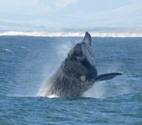Whale Breaching near Hermanus