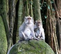 Tetebatu Monkeys