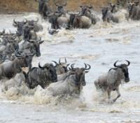 Gorillas, Big 5 & Beach Safari  Tours 2018 - 2019 -  Wildebeest Crossing the Mara River