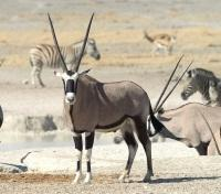 Oryx, Zebra and Impala