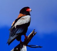 Bateleur or Short Tailed Eagle