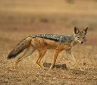 The Elusive Black Backed Jackal