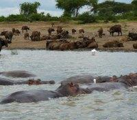 Hippos along the Kasinga Channel