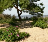 Pine and Dog roses on beach