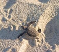 Heron Island - Turtle Hatch-ling making route to the Sea