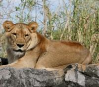 Lion at Busch Gardens