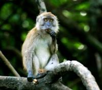 Langkawi Mangroves - Monkey Business