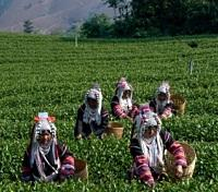 Akha Village Women Picking Tea Leaves