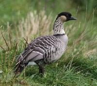 Hawaii State Bird - Nene Goose