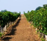 Vineyard in Dromana