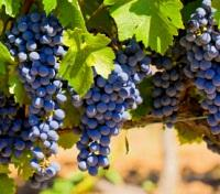 Red Grapes in the Penedès Wine Region