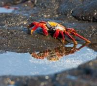 Galapagos Crab on Santiago Island
