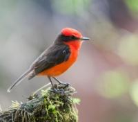 Vermilion Flycatcher on Santa Cruz Island