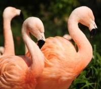 Chilean Flamingos at The Durrel Jersey Zoo