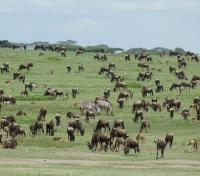 Migration Herds: Wildebeest & Zebra