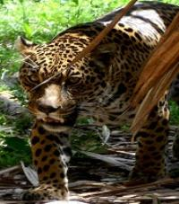Jaguar - Orinoco Delta Lodge