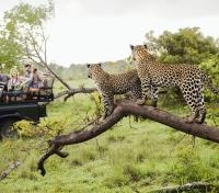 Game Viewing - Leopards