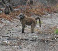 Baboons of South Africa